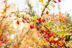 Berberisbuske med mogna röda bär på ris Arkivfoto