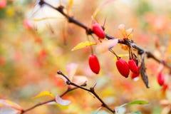 Berberisbuske med mogna röda bär på ris Arkivfoton