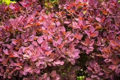 Berberisstruik in tuin Royalty-vrije Stock Fotografie