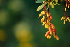 Berberitzenbeere auf der Niederlassung mit Blättern Stockbild