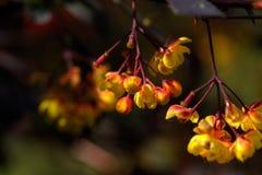 berberitzenbeere Dekoratives Gemüse Lizenzfreie Stockfotografie