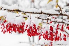 Berberitzenbeere, erster Schnee Stockbild