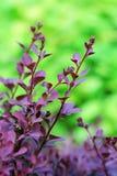 Berberitzenbeerniederlassung auf dem grünen Hintergrund Lizenzfreies Stockfoto