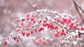 Berberries covered in snow in winter royalty free stock image