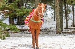 Berbers de cheval dans la forêt Photo stock
