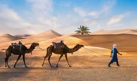 Berbers mit Dromadaires in Sahara stockbilder