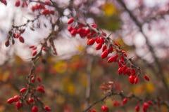 Berberys pospolity gałęziastych świeżych dojrzałych jagod jesieni naturalny kolorowy sezon Obraz Royalty Free