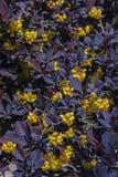 Berberys Thunberga blühte im Garten Stockfotografie