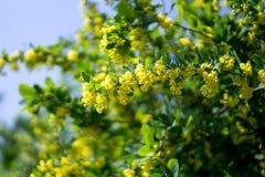 Berberysowa kwiat gałąź z żółtymi kwiatami Fotografia Stock