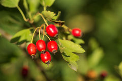Berberysowe jagody w Sierpień Obraz Stock