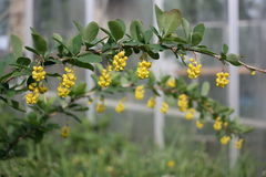 berberysowi kwiaty Zdjęcie Stock