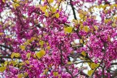 Berberysowi kwiaty kwitną na gałąź w wiośnie Zdjęcia Stock
