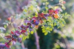 Berberysowy krzak w jesieni świetle słonecznym Obraz Stock