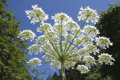 Berce géante (mantegazzianum de Heracleum) Images stock