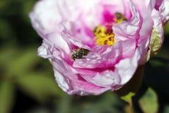 Berceau confortable de pivoine pour le scarabée velu photos stock