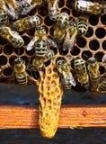 Berceau pour le chapitre de la famille d'abeille Images libres de droits