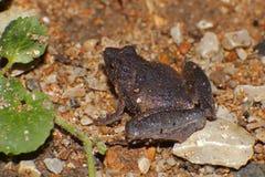 Berdmore's Chorus Frog Microhyla berdmorei. Amphibian Royalty Free Stock Photo
