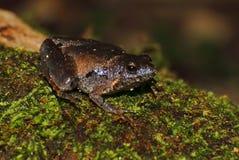 Berdmore's Chorus Frog Microhyla berdmorei. Macro Royalty Free Stock Images