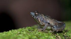 Berdmorei Microhyla, красивая лягушка, лягушка на дереве мха Стоковое фото RF
