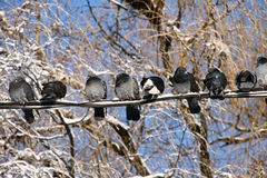 Berds on the wire. Pigeons sit on wires, winter weather, sunny day Royalty Free Stock Image