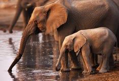 Bere degli elefanti fotografia stock
