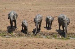 Bere degli elefanti Immagini Stock
