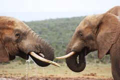 Bere dei due elefanti Fotografie Stock Libere da Diritti