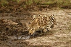 Bere del leopardo Immagine Stock