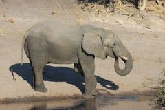 Bere dell'elefante Immagini Stock