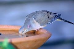 Bere della colomba Fotografia Stock Libera da Diritti