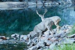 Bere della daina dei cervi muli fotografia stock
