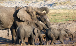 Bere della famiglia dell'elefante africano Fotografia Stock