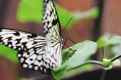 Bere della farfalla Immagini Stock Libere da Diritti