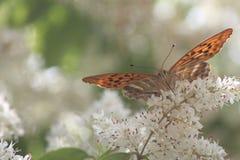 Bere della farfalla Fotografie Stock