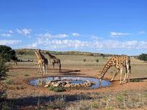 Bere della giraffa Fotografie Stock