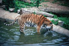 Bere della tigre di Siberan Fotografia Stock