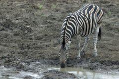 Bere della zebra Immagini Stock