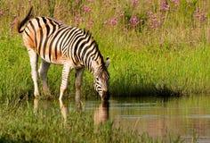 Bere della zebra di Burchells Fotografia Stock Libera da Diritti