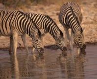 Bere delle Africa-Zebre Immagini Stock Libere da Diritti