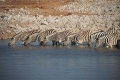 Bere delle zebre Fotografia Stock Libera da Diritti
