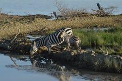 Bere delle zebre Fotografie Stock Libere da Diritti