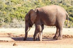 Bere l'ultima goccia dell'elefante acqua di Bush dell'Africano Fotografia Stock