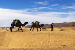 Bereber и 2 верблюда в пустыне Сахары, Марокко Стоковое Изображение RF