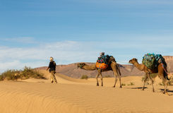 Bereber leads camels through the desert, Morocco. Caravan of camels in the Sahara desert in Morocco Stock Image