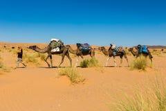 Bereber leder kamel till och med den Sahara öknen Arkivfoto