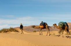 Bereber mène des chameaux par le désert, Maroc Image stock