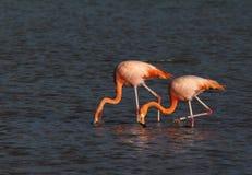 Bereed Flamingo, Amerikaanse Flamingo, Phoenicopterus ruber stock fotografie