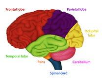 Bereiche des menschlichen Gehirns, medizinische Illustration auf weißem Hintergrund stock abbildung