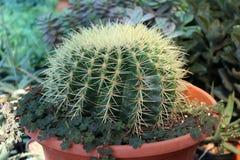 Bereichkaktus angebaut im braunen Topf eine saftige Anlage mit einem starken, fleischigen Stamm, der gewöhnlich Dorne trägt stockbild