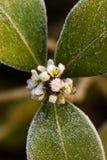 Bereift wintergreen Lizenzfreies Stockfoto